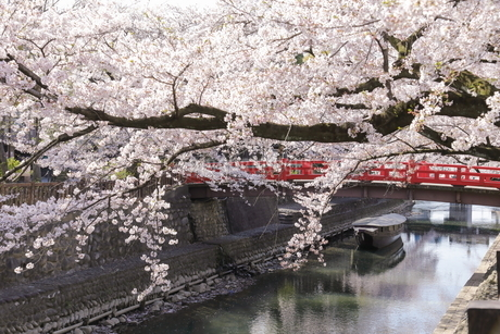 大垣 奥の細道むすびの地の桜の写真素材 [FYI04292173]