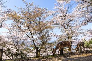 桜咲く宮島の写真素材 [FYI04292708]