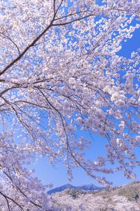 満開の桜と筑波山の写真素材 [FYI04292802]