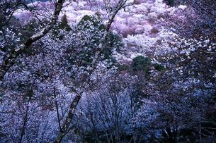 吉野山の千本桜の写真素材 [FYI04292811]