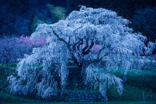 朝の又兵衛桜の写真素材 [FYI04292865]