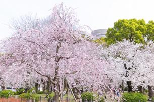 満開を迎えた鶴舞公園の桜の写真素材 [FYI04292890]