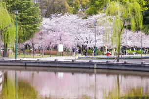 満開を迎えた鶴舞公園の桜の写真素材 [FYI04292891]