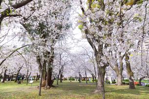 満開を迎えた鶴舞公園の桜の写真素材 [FYI04292892]