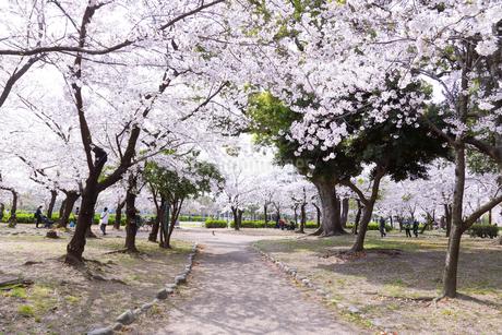 満開を迎えた鶴舞公園の桜の写真素材 [FYI04292893]