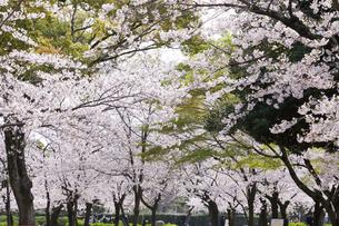 満開を迎えた鶴舞公園の桜の写真素材 [FYI04292895]