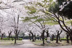 満開を迎えた鶴舞公園の桜の写真素材 [FYI04292896]