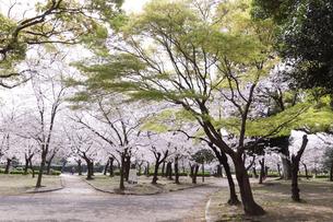 満開を迎えた鶴舞公園の桜の写真素材 [FYI04292897]