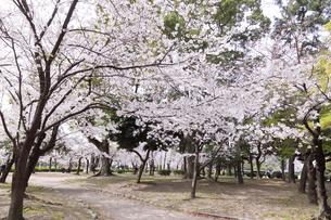満開を迎えた鶴舞公園の桜の写真素材 [FYI04292898]