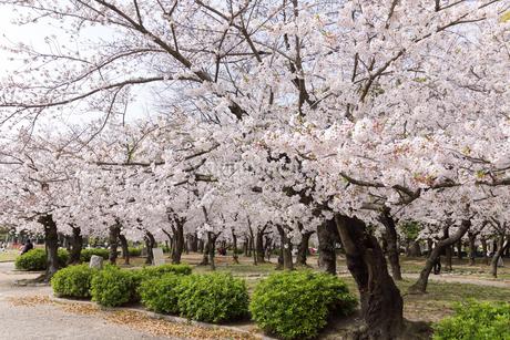 満開を迎えた鶴舞公園の桜の写真素材 [FYI04292899]