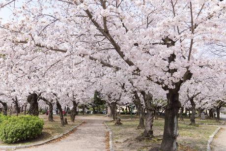 満開を迎えた鶴舞公園の桜の写真素材 [FYI04292900]