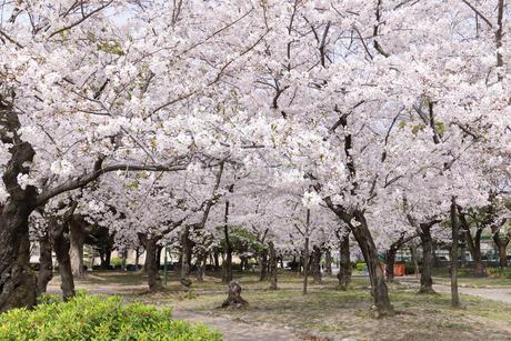 満開を迎えた鶴舞公園の桜の写真素材 [FYI04292901]