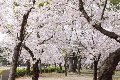 満開を迎えた鶴舞公園の桜の写真素材 [FYI04292902]