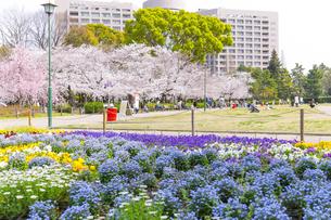 満開を迎えた鶴舞公園の桜の写真素材 [FYI04292907]