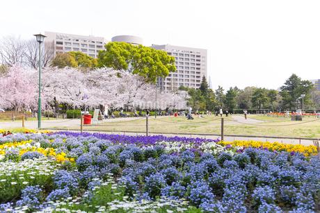満開を迎えた鶴舞公園の桜の写真素材 [FYI04292908]