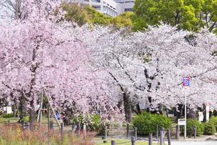 満開を迎えた鶴舞公園の桜の写真素材 [FYI04292910]