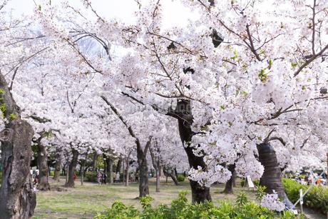 満開を迎えた鶴舞公園の桜の写真素材 [FYI04292911]
