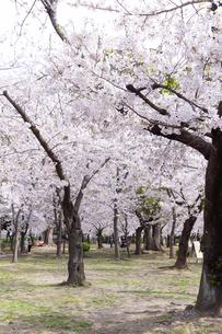 満開を迎えた鶴舞公園の桜の写真素材 [FYI04292912]
