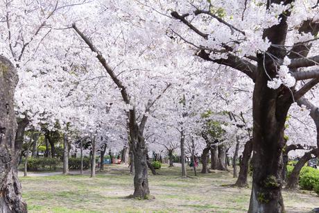 満開を迎えた鶴舞公園の桜の写真素材 [FYI04292913]