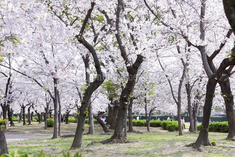 満開を迎えた鶴舞公園の桜の写真素材 [FYI04292914]