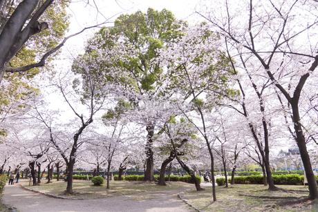満開を迎えた鶴舞公園の桜の写真素材 [FYI04292915]