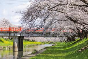 満開に咲き誇る新境川堤の桜の写真素材 [FYI04292917]