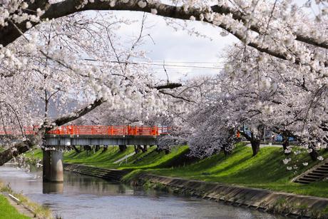 満開に咲き誇る新境川堤の桜の写真素材 [FYI04292918]