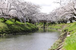 満開に咲き誇る新境川堤の桜の写真素材 [FYI04292919]