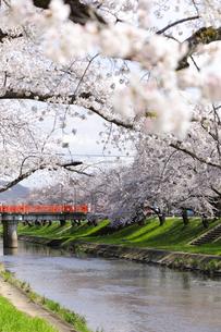 満開に咲き誇る新境川堤の桜の写真素材 [FYI04292921]