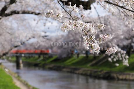 満開に咲き誇る新境川堤の桜の写真素材 [FYI04292925]