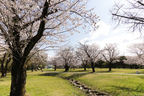 満開の各務原市民公園の桜の写真素材 [FYI04292929]