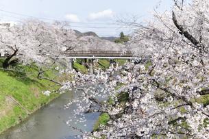 満開に咲き誇る新境川堤の桜の写真素材 [FYI04292930]