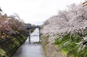 満開に咲き誇る新境川堤の桜の写真素材 [FYI04292932]