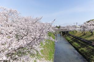満開に咲き誇る新境川堤の桜の写真素材 [FYI04292934]