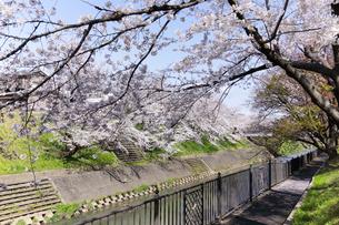 満開に咲き誇る新境川堤の桜の写真素材 [FYI04292936]