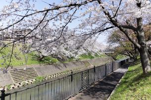 満開に咲き誇る新境川堤の桜の写真素材 [FYI04292938]