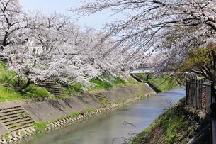 満開に咲き誇る新境川堤の桜の写真素材 [FYI04292940]