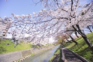 満開に咲き誇る新境川堤の桜の写真素材 [FYI04292945]