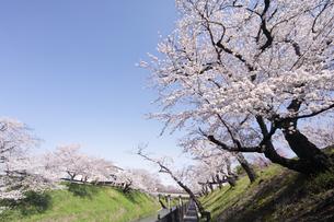 満開に咲き誇る新境川堤の桜の写真素材 [FYI04292947]