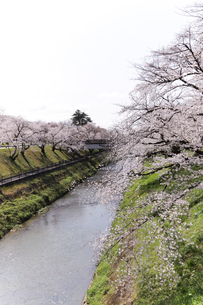 満開に咲き誇る新境川堤の桜の写真素材 [FYI04292949]