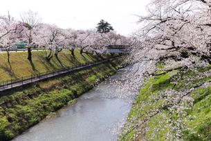 満開に咲き誇る新境川堤の桜の写真素材 [FYI04292951]