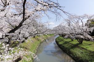 満開に咲き誇る新境川堤の桜の写真素材 [FYI04292954]