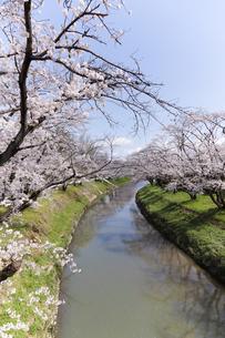 満開に咲き誇る新境川堤の桜の写真素材 [FYI04292957]