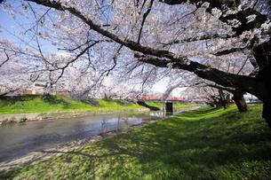 満開に咲き誇る新境川堤の桜の写真素材 [FYI04292960]