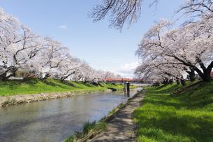 満開に咲き誇る新境川堤の桜の写真素材 [FYI04292963]