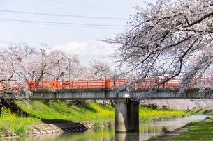 満開に咲き誇る新境川堤の桜の写真素材 [FYI04292966]