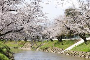 満開に咲き誇る新境川堤の桜の写真素材 [FYI04292969]