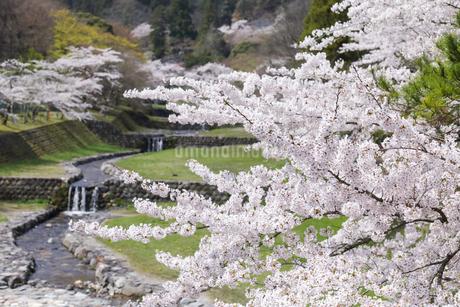 満開を迎えた養老公園の桜の写真素材 [FYI04293004]