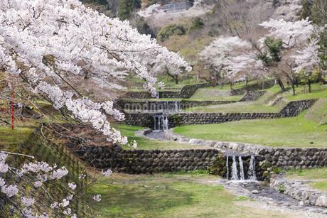 満開を迎えた養老公園の桜の写真素材 [FYI04293005]