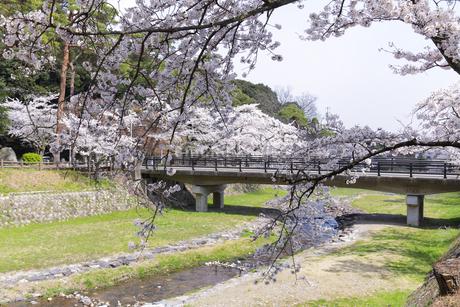 満開を迎えた養老公園の桜の写真素材 [FYI04293009]